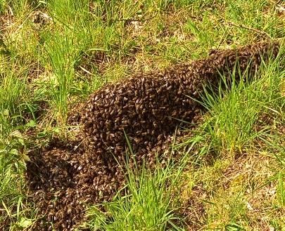Bees preparing to swarm